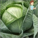 Most popular methods for treating migraines - to make a cabbage leaf to the head