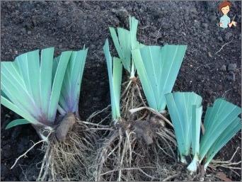 Dekorasjon for en hage eller blomsterbed - vakre blomster iris