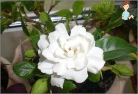 jasmine Gardenia