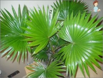 Palm Livistona