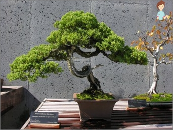 Attached to the art of the East: do bonsai tree in his own home