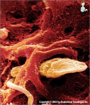 Foto 3 Woche der Schwangerschaft den Fötus